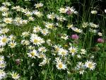 Blumenwiese auf dem Jura Wagyu Hof