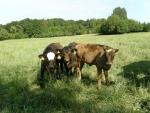 Unsere Wagyu-Rinder